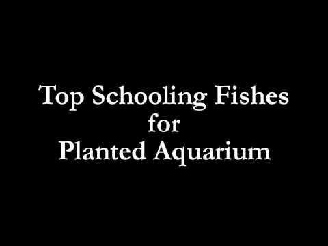 Top schooling fishes for planted aquarium