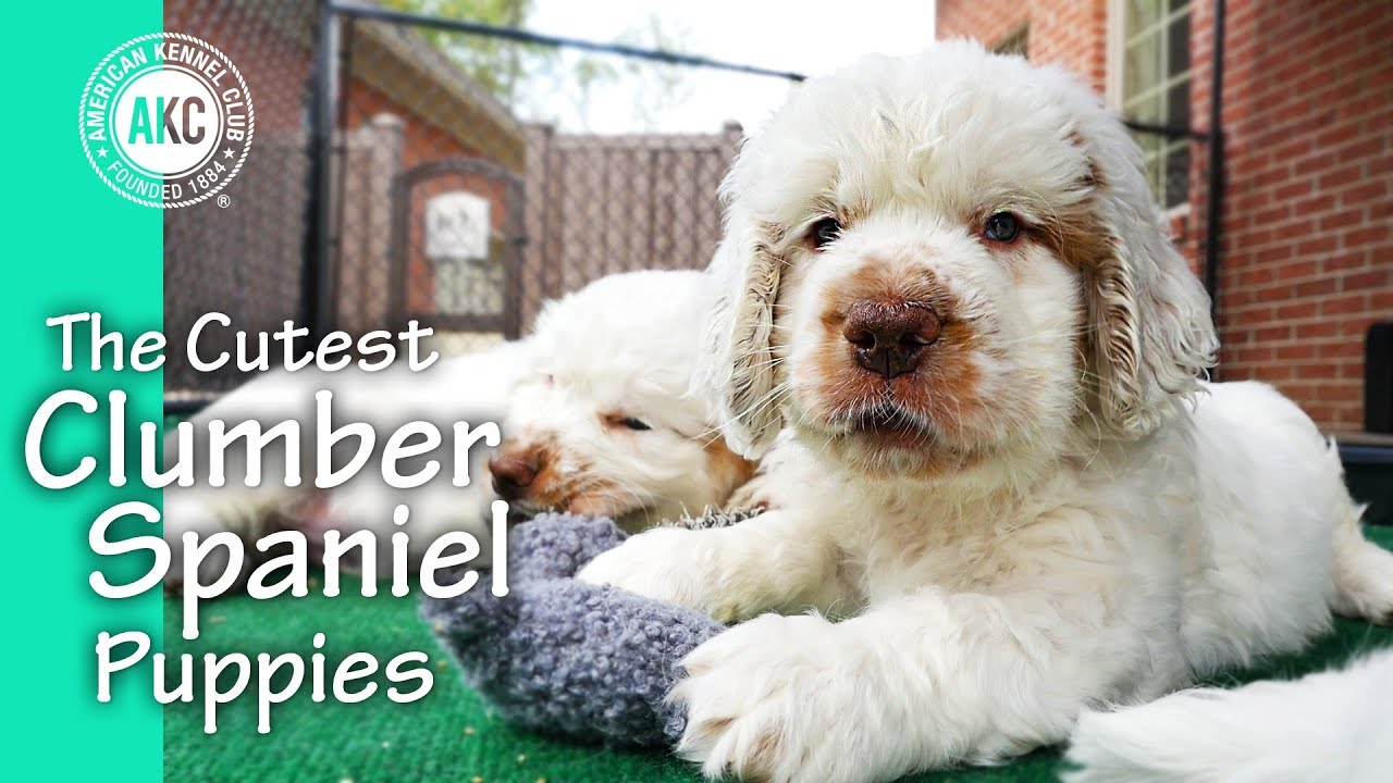 The Cutest Clumber Spaniel Puppies Youtube