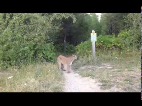 Mountain lion gets in guys face!