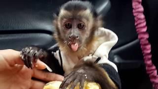 2017.06.24 Обезьяна капуцин Масяня и Питри (Мишка). Обезьяна ест банан.