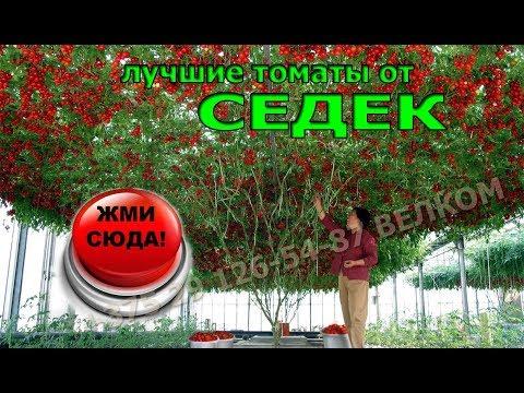 Лучшие семена томатов от компании СЕДЕК