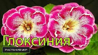 Глоксиния уход в домашних условиях / Многолетние цветы(Глоксиния (лат. Gloxinia) — род растений семейства Геснериевые (Gesneriaceae). Назван в честь немецкого или эльзасског..., 2015-02-11T15:00:00.000Z)