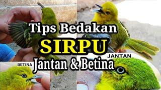 Gambar cover Cara Membedakan Cipow/Sirtu/Sirpu JANTAN & BETINA