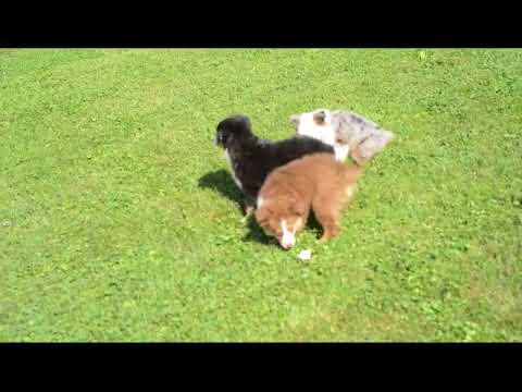 Mini Australian Shepherd Puppies For Sale