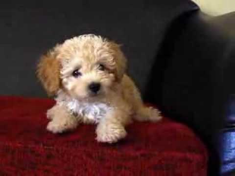 Morya - Toy poodle - Teaching barking