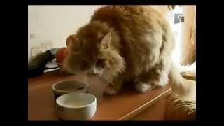 Мифы и заблуждения о кошках. Как и чем правильно кормить кошек.