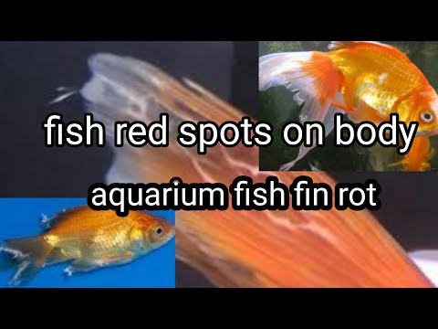 Aquarium Fish Fin Rot Red Spots In Tail Or Fins Treatmen