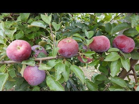 Яблоня Вильямс  Прайд / Apple William\'s Pride