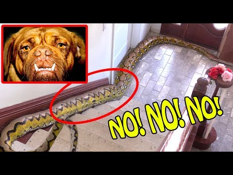 large-python-enters-our-home,-eats-everything-in-sight