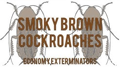 Charlotte Pest Control | Smoky Brown Cockroaches | Economy Exterminators