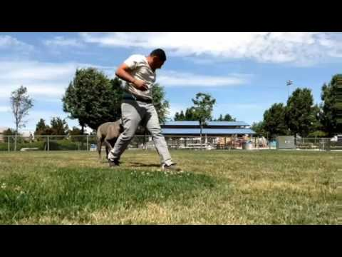 Dog Training: Cane Corso transformation