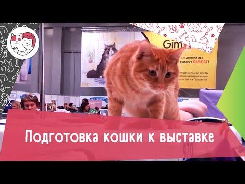 4 правила подготовки кошки к выставке