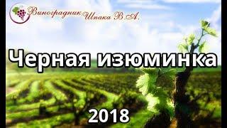 Черная изюминка урожая 2018 года