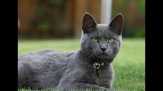 Выгуливаем русскую голубую кошку, наш кот Том, ВЛОГ