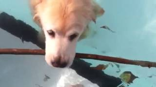 Golden Retriever Swimming End Of Summer 2014 - Age 13