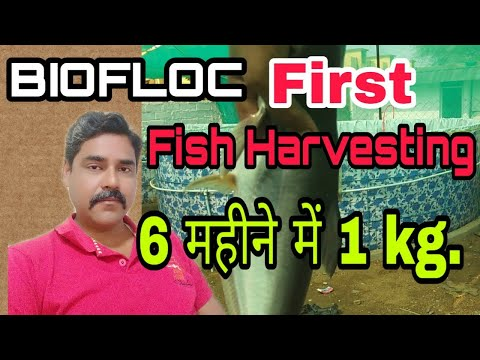 Repeat Biofloc Fish Harvesting WhatsApp 7647988667 by RSM