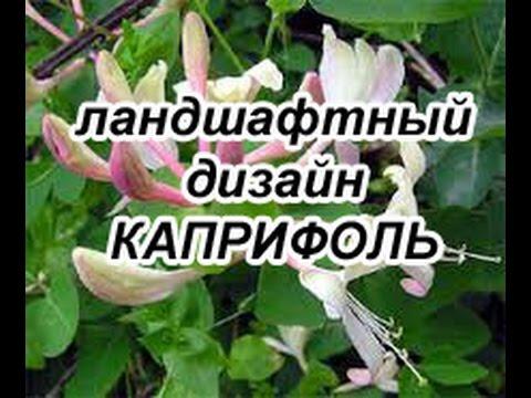 Каприфоль. Очень_красивое_декоративное_растение. Каприфоли_украсит_ваш_участок