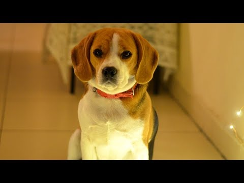 Why Beagles are Adorable   Life with my Pet   Scarlet Strokes