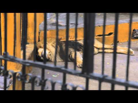 Mile High Jungle Bolivian Lion Rescue