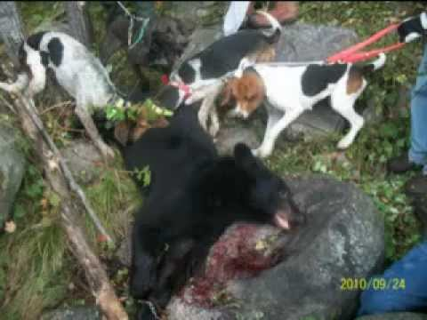 Bear Hunting With Hound Dogs In Wisconsin Youtube