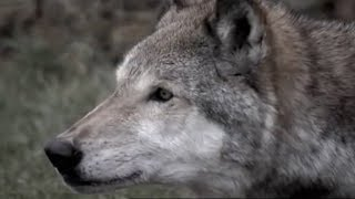 Face to Face with a Killer | Lobo | The Wolf That Changed America | BBC Earth