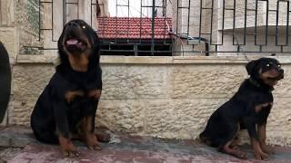 تجربة تضخيم كلب تم اعطائه بروتين والثاني اكل طبيعي بنفس العمر و اخوه مع جمال العمواسي