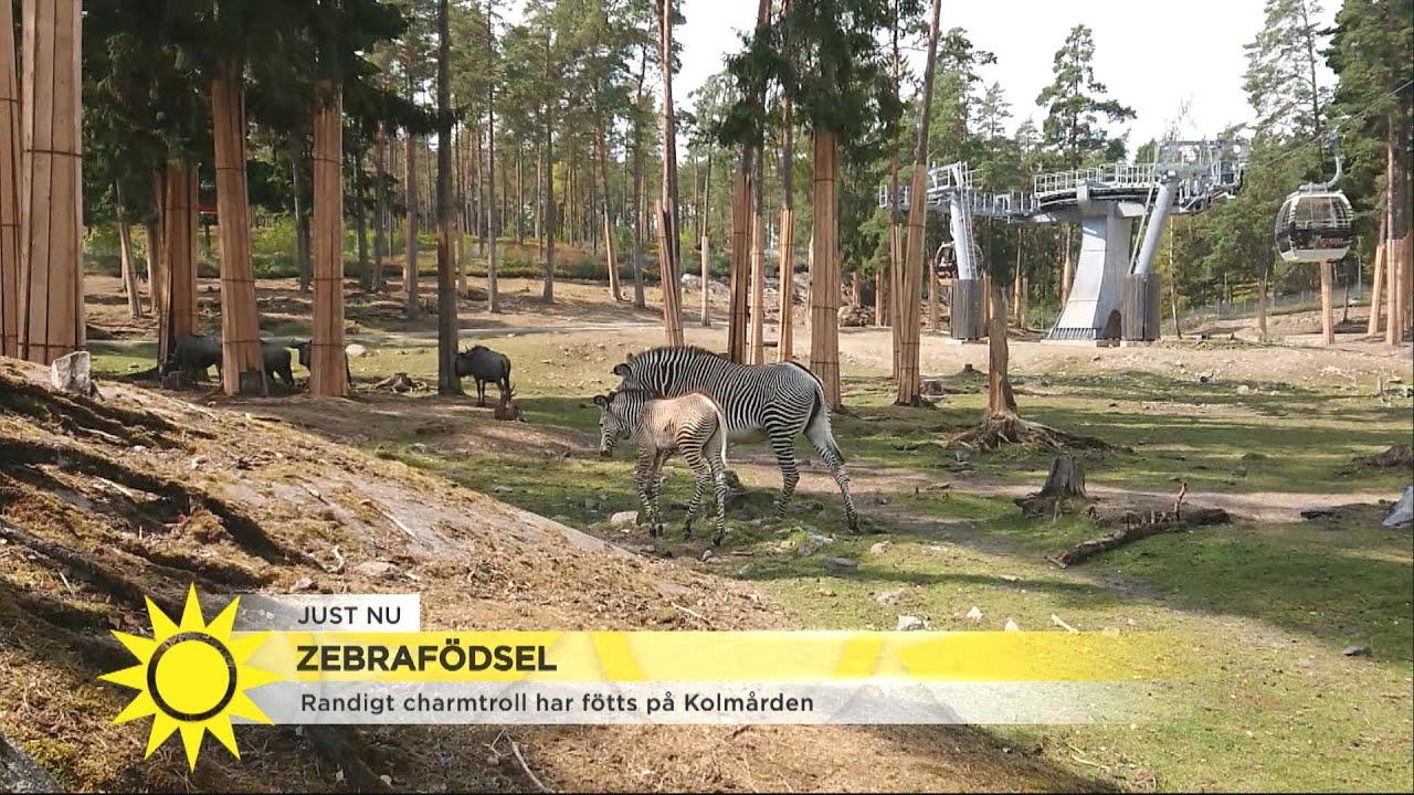 Se det nyfödda zebrafölet ta sina första steg - Nyhetsmorgon (TV4)