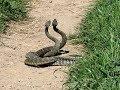 LIVE Snakes SEX Video In Indian Village   Dont Miss | Allah Ki KUdrat |