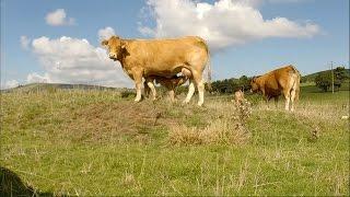 Vaches limousines, pâture et premiers veaux [GOPRO]