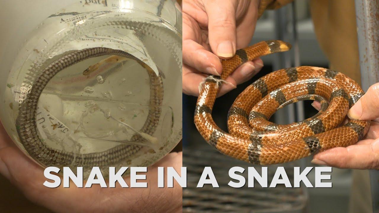 UT Arlington professor discovered new snake species inside belly of