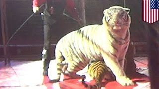 Circus tiger abuse: HSUS investigation reveals tiger was whipped 31 times in two minutes - TomoNews