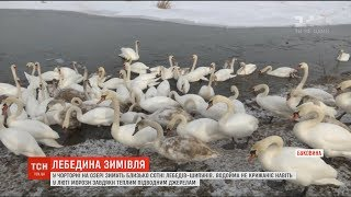 На Буковині десятки лебедів-шипунів зимують на водоймі, що не замерзає