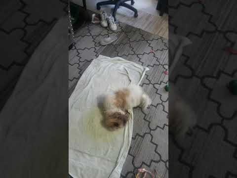 Shih tzu crazy after bath