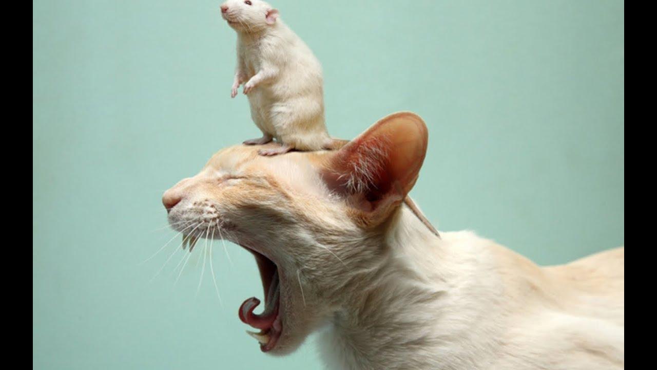 Кот дерётся с крысой