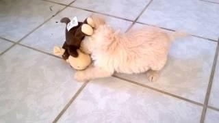 Filhote Labradoodle = Poodle + Labrador