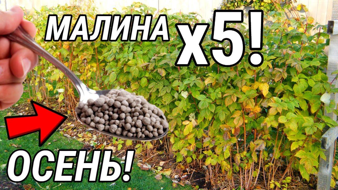 Дайте ЭТО КАЖДОМУ Кустику Малины в СЕНТЯБРЕ Для УВЕЛИЧЕНИЯ Урожая в 5 РАЗ!