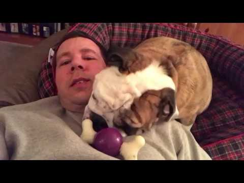 reuben-the-bulldog-caution-bulldog-at-play