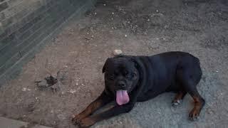 It's Another One @Butler kennels rottweilers(DeboXCiroc #2)