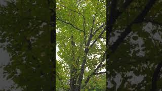 스트레칭 하면서 만나는 나무 캐노피19(계수나무)