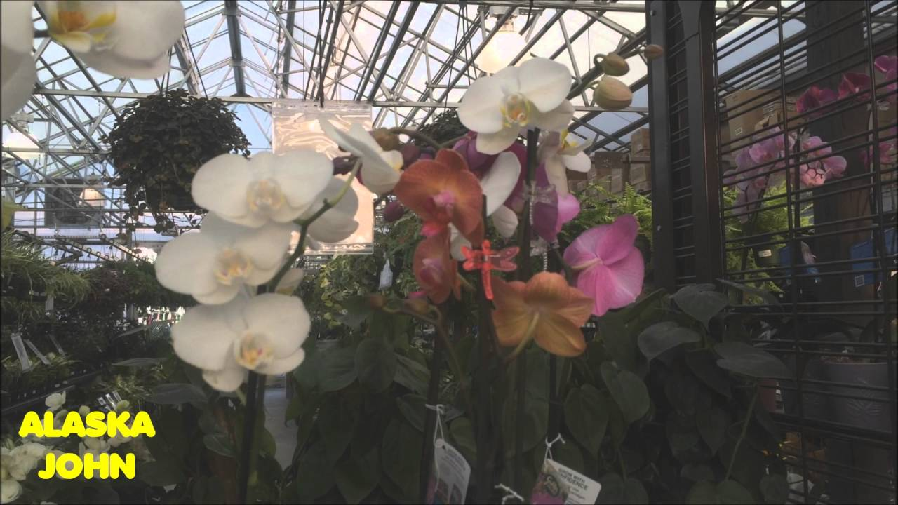 Orchid flowers anchorage alaska lowes store youtube orchid flowers anchorage alaska lowes store mightylinksfo