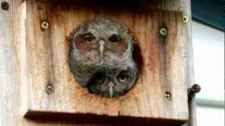 Peekaboo Baby Owls