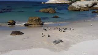 False Bay Penguins   South Africa