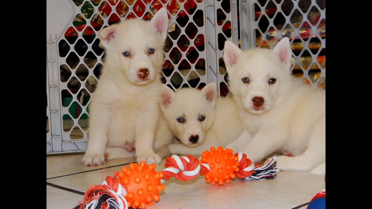 Siberian Husky Puppies For Sale In Hartford Connecticut