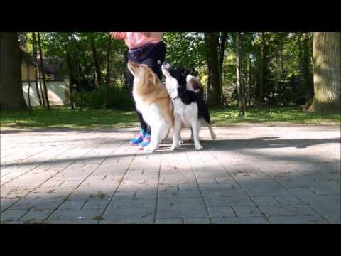Luke & Leia Border Colllie dog dancing