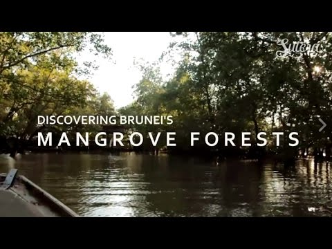 Discover Brunei's Mangrove Forests