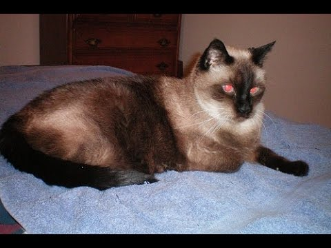 Siamese Cat Funny Compilation Videos 1 ♥