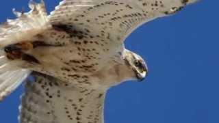 Звуки природы! Ястреб тетеревятник. Красивое пение птиц - Голоса птиц