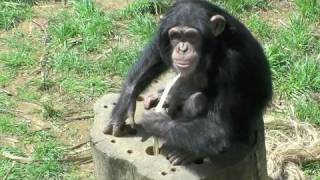 円山動物園のチンパンジーたち。 レディとテスは、どちらも4歳のメス。 ...