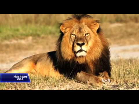 Trophy Hunter's Lion Kill Draws Uproar, Donations