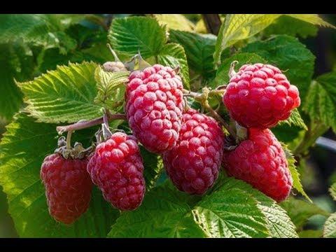 Как лучше подвязывать малину. Новый супер способ. (How best to tie a raspberry. A new super way.)